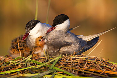 Whiskered Tern (Chlidonias hybrida) pair with chick at nest, Andalucia, Spain  -  Oscar Diez/ BIA