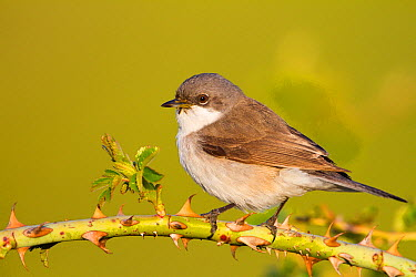 Lesser Whitethroat (Sylvia curruca), Baden-Wurttemberg, Germany  -  Ralph Martin/ BIA
