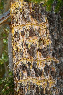 Three-toed Woodpecker (Picoides tridactylus) damage on bark, Baden-Wurttemberg, Germany  -  Ralph Martin/ BIA