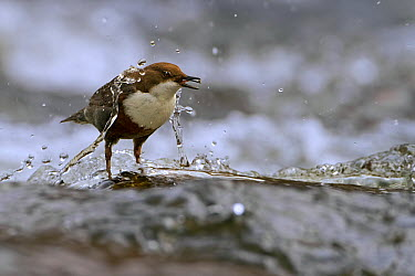 White-throated Dipper (Cinclus cinclus), Saxony-Anhalt, Germany  -  Thomas Hinsche/ BIA