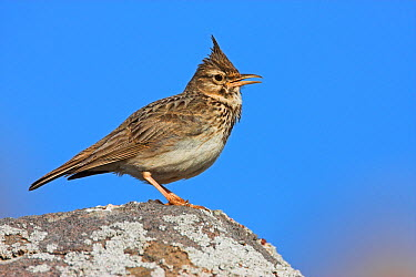 Crested Lark (Galerida cristata), Lesvos, Greece  -  Christine Jung/ BIA