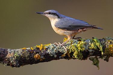 Wood Nuthatch (Sitta europaea), Cadiz, Spain  -  Andres M. Dominguez/ BIA