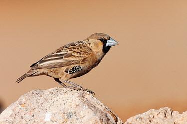 Sociable Weaver (Philetairus socius), Sossusvlei, Namibia  -  Jiri Slama/ BIA