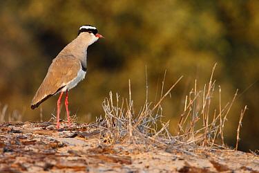 Crowned Lapwing (Vanellus coronatus), Namibia  -  Jiri Slama/ BIA