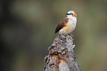 Bare-cheeked Babbler (Turdoides gymnogenys), Namibia  -  Jiri Slama/ BIA