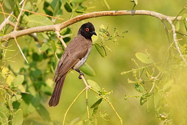 African Red-eyed Bulbul (Pycnonotus nigricans), Kunene, Namibia  -  Jiri Slama/ BIA