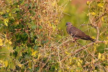 Mourning Dove (Streptopelia decipiens), Kunene, Namibia  -  Jiri Slama/ BIA