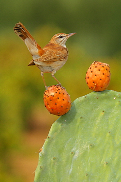 Rufous-tailed Scrub Robin (Cercotrichas galactotes), Seville, Spain  -  Andres M. Dominguez/ BIA