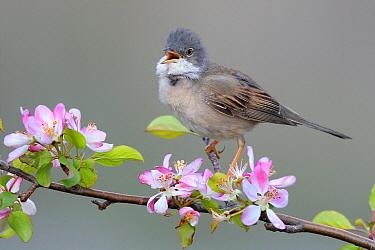 Common Whitethroat (Sylvia communis) singing male, France  -  Stefan Rieben/ BIA