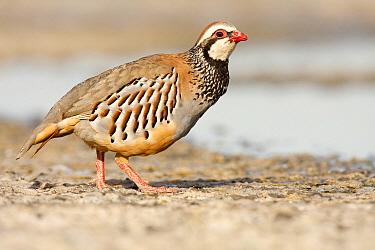 Red-legged Partridge (Alectoris rufa), Castile-La Mancha, Spain  -  Oscar Diez/ BIA