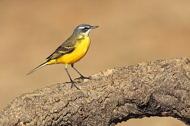 Blue-headed Wagtail (Motacilla flava) male, Cadiz, Spain  -  Andres M. Dominguez/ BIA