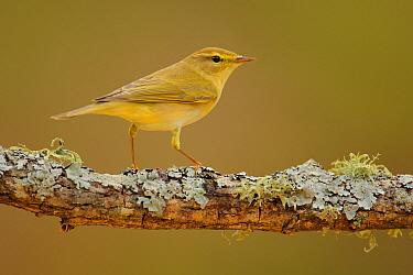Willow Warbler (Phylloscopus trochilus), Cadiz, Spain  -  Andres M. Dominguez/ BIA