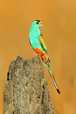 Golden-shouldered Parrot (Psephotus chrysopterygius) male, Queensland, Australia  -  Jan Wegener/ BIA
