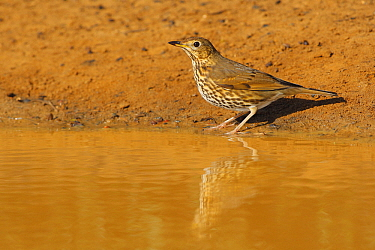 Song Thrush (Turdus philomelos), Cadiz, Spain  -  Andres M. Dominguez/ BIA