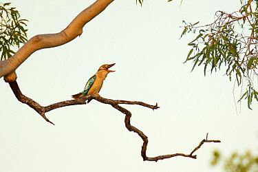 Blue-winged Kookaburra (Dacelo leachii) calling, Queensland, Australia  -  Jan Wegener/ BIA