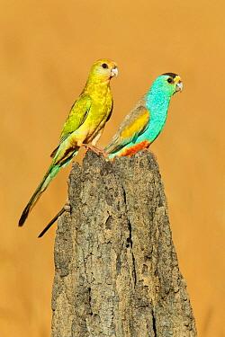 Golden-shouldered Parrot (Psephotus chrysopterygius), Queensland, Australia  -  Jan Wegener/ BIA