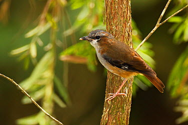 Ashy Robin (Heteromyias albispecularis), Queensland, Australia  -  Jan Wegener/ BIA