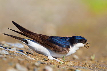 Common House Martin (Delichon urbicum) carrying insect prey, Baden-Wurttemberg, Germany  -  Ralph Martin/ BIA