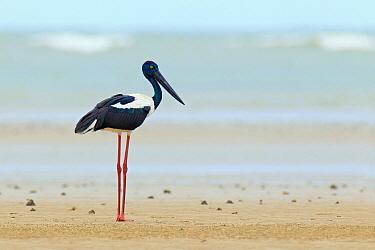 Black-necked Stork (Ephippiorhynchus asiaticus), Queensland, Australia  -  Jan Wegener/ BIA