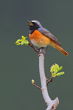 Common Redstart (Phoenicurus phoenicurus) male singing, Provence, France  -  Stefan Rieben/ BIA