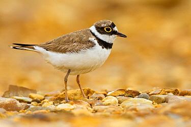 Little Ringed Plover (Charadrius dubius), Castile-La Mancha, Spain  -  Mario Suarez Porras/ BIA