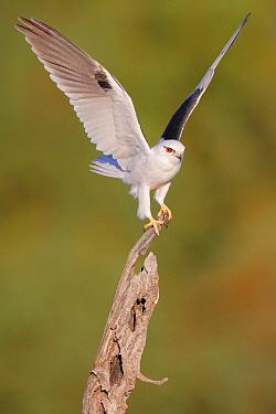 Black-shouldered Kite (Elanus axillaris), Australia  -  Karl Seddon/ BIA