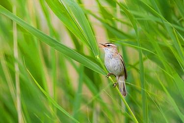 Sedge Warbler (Acrocephalus schoenobaenus) singing, Burgenland, Austria  -  Ralph Martin/ BIA