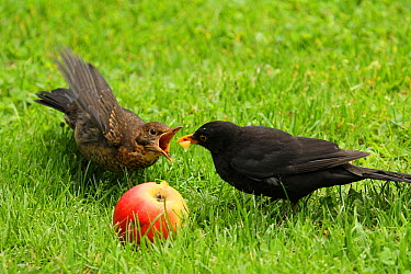 Eurasian Blackbird (Turdus merula) feeding apple to juvenile, Lower Saxony, Germany  -  Folkert Christoffers/ BIA