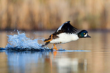 Barrow's Goldeneye (Bucephala islandica) taking flight, British Columbia, Canada  -  Connor Stefanison/ BIA