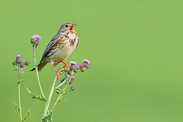 Corn Bunting (Emberiza calandra) singing, Merseyside, United Kingdom  -  Richard Steel/ BIA
