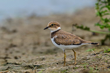 Little Ringed Plover (Charadrius dubius), Schleswig-Holstein, Germany  -  Peter Hering/ BIA