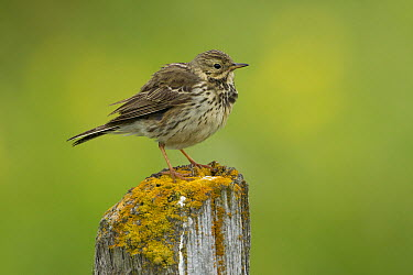 Meadow Pipit (Anthus pratensis), Iceland  -  Rosl Roessner/ BIA