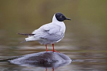Bonaparte's Gull (Larus philadelphia), British Columbia, Canada  -  Connor Stefanison/ BIA