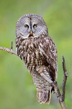 Great Gray Owl (Strix nebulosa), British Columbia, Canada  -  Connor Stefanison/ BIA