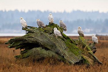 Snowy Owl (Nyctea scandiaca) flock on driftwood, British Columbia, Canada  -  Connor Stefanison/ BIA