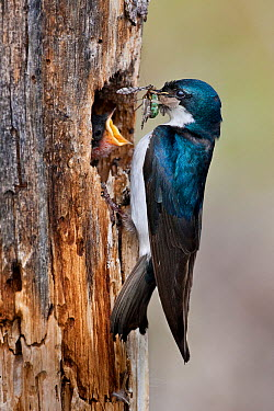 Tree Swallow (Tachycineta bicolor) feeding insects to chick at nest hole, British Columbia, Canada  -  Connor Stefanison/ BIA