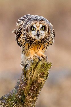 Short-eared Owl (Asio flammeus), British Columbia, Canada  -  Connor Stefanison/ BIA