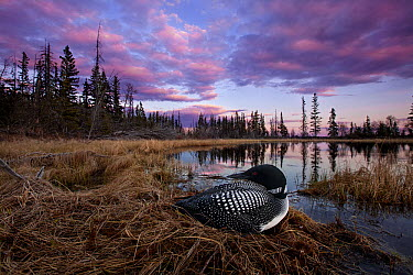 Common Loon (Gavia immer) on nest in bog, British Columbia, Canada  -  Connor Stefanison/ BIA