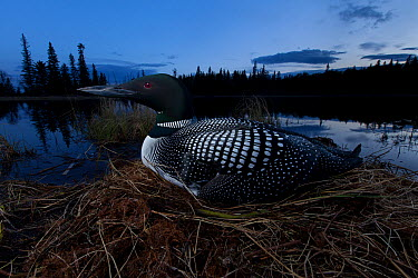 Common Loon (Gavia immer) on nest, British Columbia, Canada  -  Connor Stefanison/ BIA