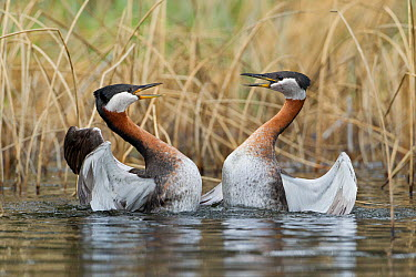 Red-necked Grebe (Podiceps grisegena) pair fighting, British Columbia, Canada  -  Connor Stefanison/ BIA