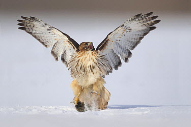 Red-tailed Hawk (Buteo jamaicensis) catching rodent prey in snow, Ohio  -  Matthew Studebaker/ BIA