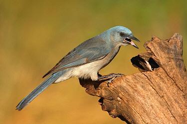 Mexican Jay (Aphelocoma wollweberi), Arizona  -  Matthew Studebaker/ BIA