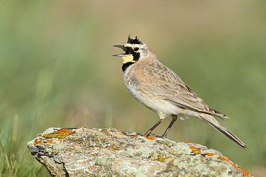 Horned Lark (Eremophila alpestris) calling, Montana  -  Matthew Studebaker/ BIA