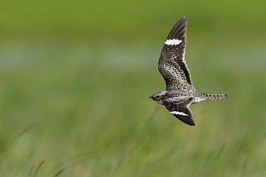 Common Nighthawk (Chordeiles minor), Montana  -  Matthew Studebaker/ BIA
