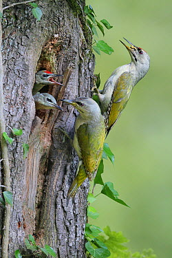 Grey-headed Woodpecker (Picus canus) parents feeding chicks at nest hole, Zurich, Switzerland  -  Stefan Rieben/ BIA