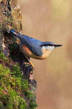 Wood Nuthatch (Sitta europaea), Cheshire, United Kingdom  -  Richard Steel/ BIA