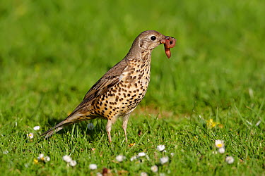 Mistle Thrush (Turdus viscivorus) carrying a worm, Wirral Peninsula, United Kingdom  -  Richard Steel/ BIA