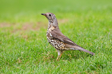Mistle Thrush (Turdus viscivorus), Wirral Peninsula, United Kingdom  -  Richard Steel/ BIA
