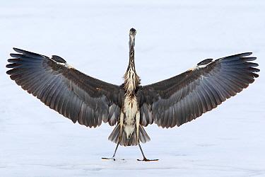 Grey Heron (Ardea cinerea), Berlin, Germany  -  Jan Wegener/ BIA
