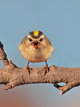 Golden-crowned Kinglet (Regulus satrapa) singing, Saskatoon, Saskatchewan, Canada  -  Nick Saunders/ BIA